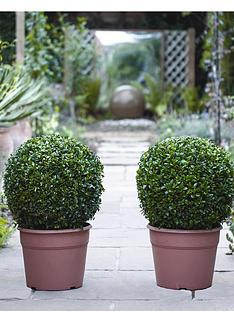 thompson-morgan-buxus-ball-diameter-35-cm-30-cm-pot-x-2-free-gift-with-purchase