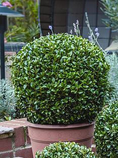 thompson-morgan-buxus-ball-diameter-50-cm-37-cm-pot-x-2
