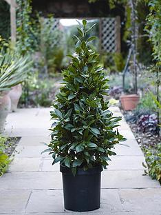 thompson-morgan-laurus-nobilis-standard-pyramid-110-cm-25cm-pot-x-1