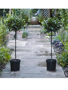 thompson-morgan-laurus-nobilis-standard-bay-tree-x-2-20-cm-pot-free-gift-with-purchase
