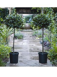 thompson-morgan-laurus-nobilis-bay-tree-80-cm-clear-stem-40-45-cm-head-25-cm-pot-x-2