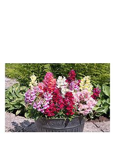 thompson-morgan-anitirrhinum-autumn-dragons-mixed-30-garden-ready-plants