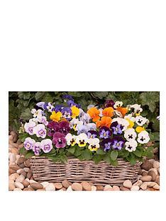 thompson-morgan-viola-autumn-jewels-mixed-30-garden-ready-plants