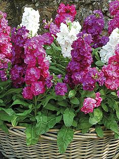 thompson-morgan-stocks-most-scented-garden-ready-mixed-30-garden-ready-plants