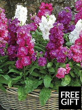 thompson-morgan-stocks-most-scented-garden-ready-mixed-30-garden-ready-plants
