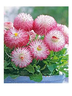 thompson-morgan-bellis-pomponette-bicolour-garden-ready-30-tray-x-1