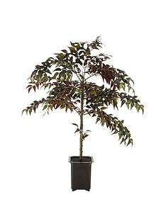 fiscus-tree-in-pot