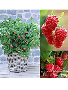 thompson-morgan-raspberry-ruby-beauty-3-x-9-cm-pot--free-gift-with-purchase