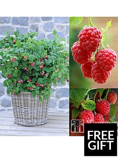 thompson-morgan-raspberry-ruby-beauty-3-x-9cm-pots