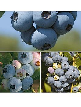 thompson-morgan-blueberry-full-season-premium-collection-1-x-brigitta-1-x-chandler-1x-earliblue-15-litre-pots