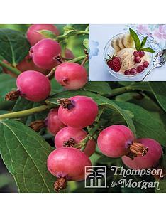 thompson-morgan-pinkberry-1-x-9cm-pot