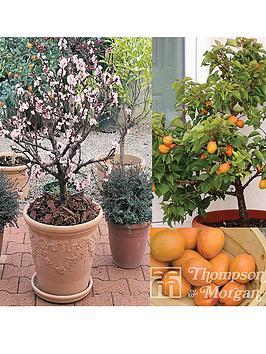 thompson-morgan-patio-range-apricot-aprigold-1-tree