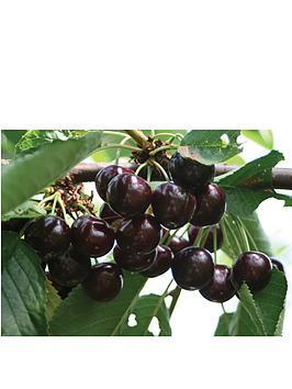 thompson-morgan-cherry-regina-patio-1-bare-root-tree-45-litre-potted-tree