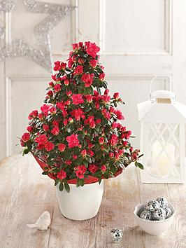 thompson-morgan-thompson-morgan-azalea-pyramid-christmas-plant-red-in-pot