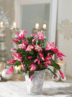 thompson-morgan-thompson-morgan-christmas-cactus-in-decorative-pot-pink