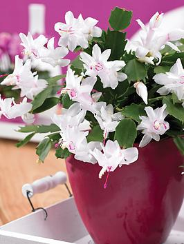thompson-morgan-christmas-cactus-in-decorative-pot-white