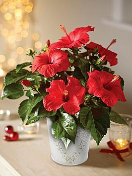 thompson-morgan-hibiscus-festive-flair-in-decorative-zinc-pot