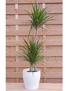 thompson-morgan-dracaena-marginata-large-house-plant