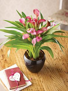 thompson-morgan-calla-lily-garnet-glow-house-plant-in-pot