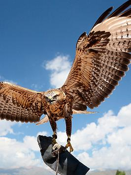 virgin-experience-days-introductory-falconry-experience
