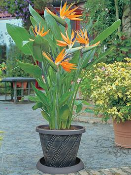 thompson-morgan-bird-of-paradise-2-x-9cm-pots