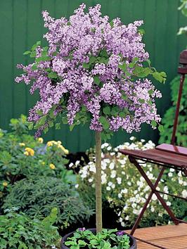 thompson-morgan-lilac-dwarf-standard-2-litre-pot