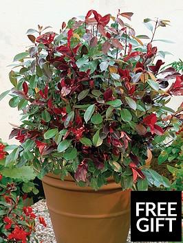 thompson-morgan-photinia-red-robin-35-litre-pot