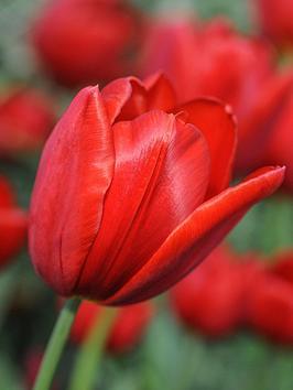 thompson-morgan-tulip-red-impression-32-bulbs-size-1011