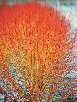 thompson-morgan-cornus-winter-flame--nbsp3-x-9cmnbsppots