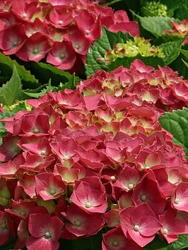 thompson-morgan-hydrangea-macrophylla-glowing-embers-35-litre-pot