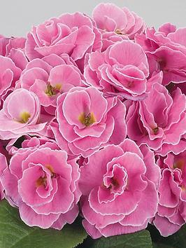 thompson-morgan-primrose-palazzo-collection-6-jumbo-plugs-3-x-pink-3-x-wine