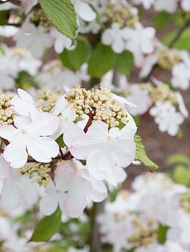 thompson-morgan-viburnum-kilimanjaro-sunrise-plants-2-x-9cmnbsppots