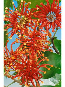 thompson-morgan-stenocarpus-12cm-pot-x-1