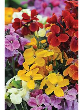 thompson-morgan-wallflower-dwarf-scented-mixed-40-bare-roots