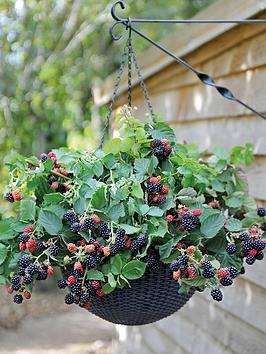 thompson-morgan-blackberry-black-cascade-9cm-pot-x-1