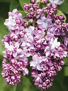thompson-morgan-syringa-lilac-beauty-of-moscow-9cm-pot-x-1