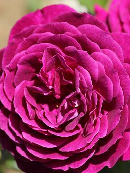 thompson-morgan-rose-ebb-tide-1x-1-bare-root-rose