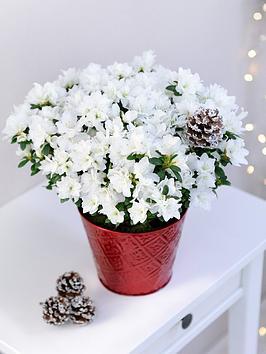 thompson-morgan-azalea-white-rose-in-12cm-pot-x-1