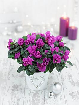 thompson-morgan-azalea-purple-flamingo-in-12cm-pot-x-1