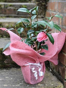 thompson-morgan-camellia-atome-pink-in-12cm-pot-x-1