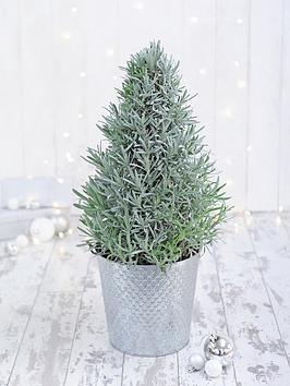 thompson-morgan-lavendula-augustifolia-pyramid-in-18cm-pot-x-1
