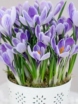 thompson-morgan-crocus-purple-stripe12-bulbs-in-white-zinc-pot-x-1