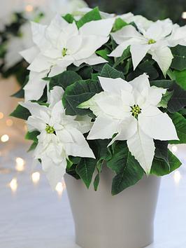thompson-morgan-princettia-pure-white-in-13cm-pot-x-1