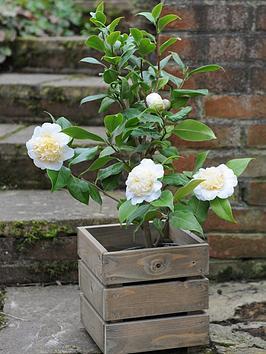 thompson-morgan-camellia-snowqueen-in-15cm-pot-x-1