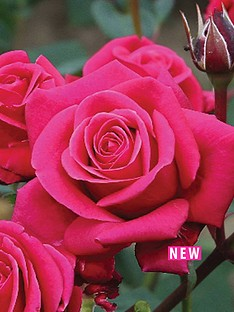 thompson-morgan-rose-ht-charisma-1-bare-root