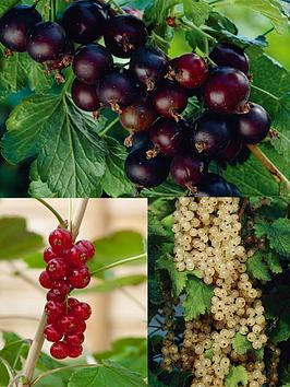 thompson-morgan-currant-collection-3-bare-roots