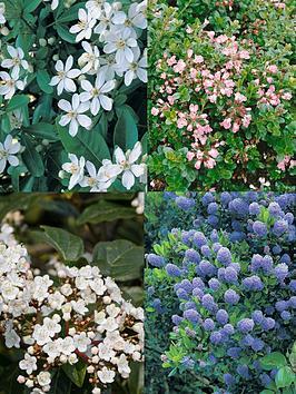 thompson-morgan-shrub-evergreen-flowering-collection-4-plants