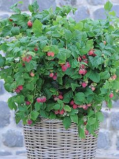 thompson-morgan-raspberry-ruby-beauty-1-3-litre-pot