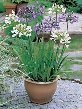 thompson-morgan-agapanthus-blue-amp-white-collection-6-bare-roots