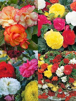Photo of Thompson & morgan begonia bumper collection 40 tubers